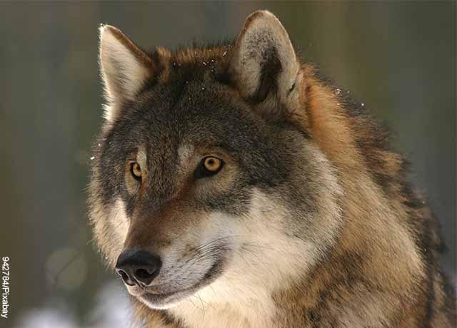 Foto de un animal salvaje café que revela lo que es soñar con lobos