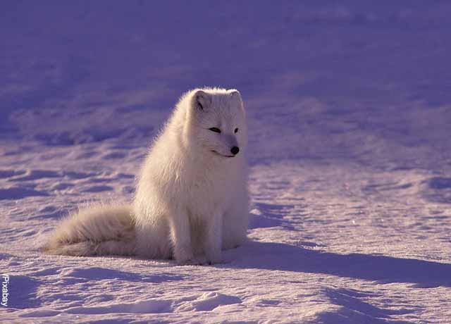 Foto de un pequeño lobito blanco que muestra lo que significa soñar con lobos