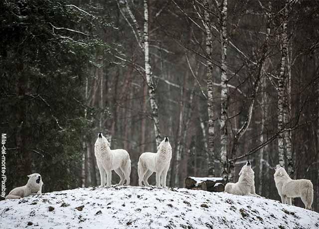 Foto de una manda de lobos blancos