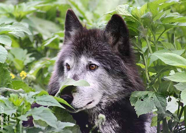 Foto de un lobo negro entre los arbustos
