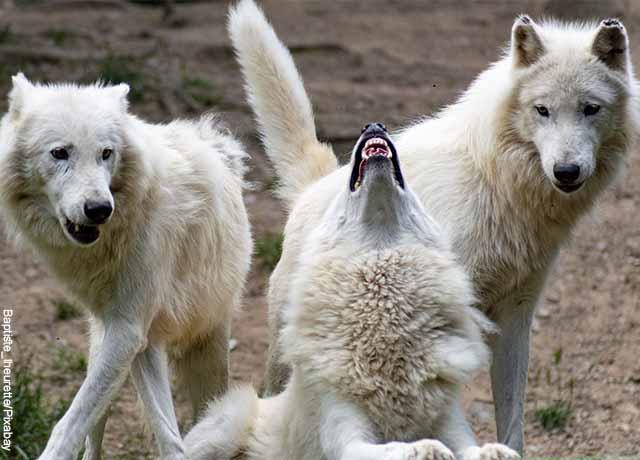 Foto de varios perros salvajes blancos aullando