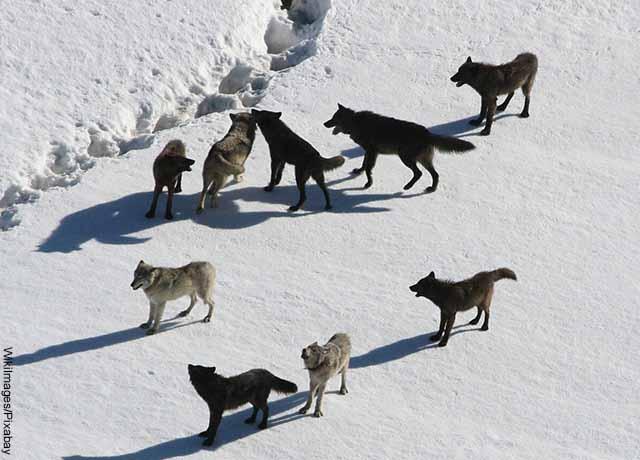 Foto aérea de una manda de lobos en la nieve