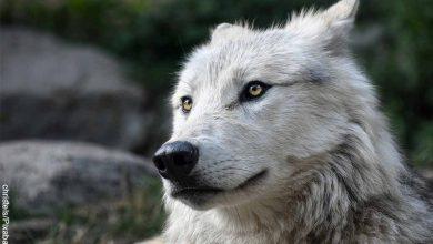 Foto de primer plano de un animal salvaje que muestra lo que significa soñar con lobos