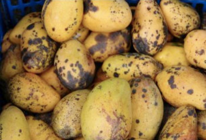 Foto de mangos maduros