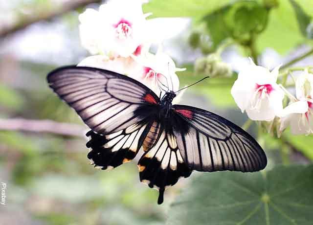 Foto de una mariposa negra que muestra lo que es soñar con mariposas