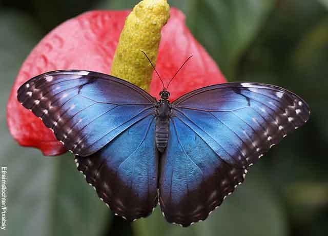 Foto de una mariposa con las alas azules abiertas