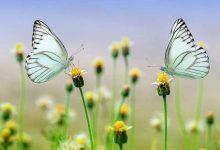 Foto de dos mariposas azules sobre una flor que muestra lo que es soñar con mariposas