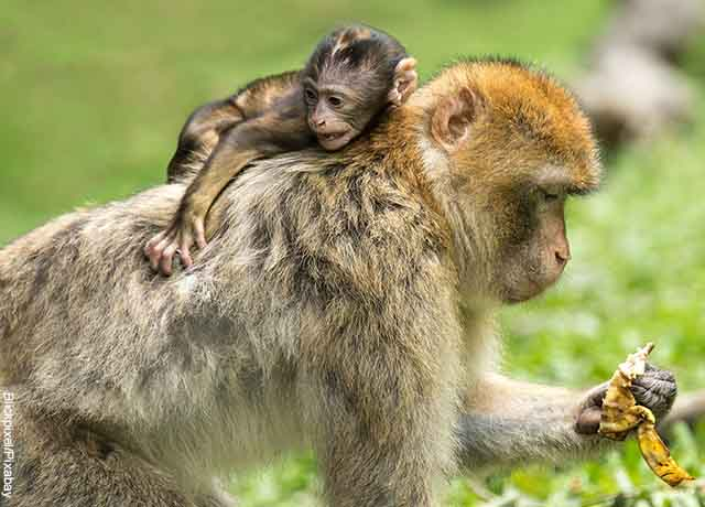 Foto de un mono bebé trepado en la espala de su madre