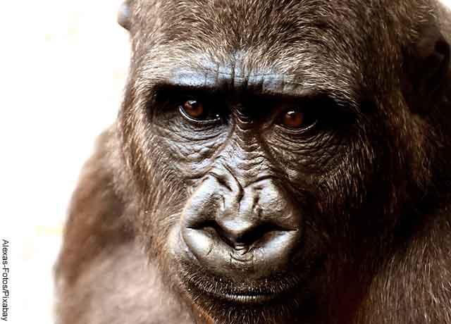 Foto del rostro de un gorila