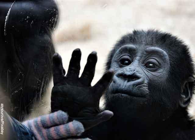 Foto de un bebé simio jugando con su mamá