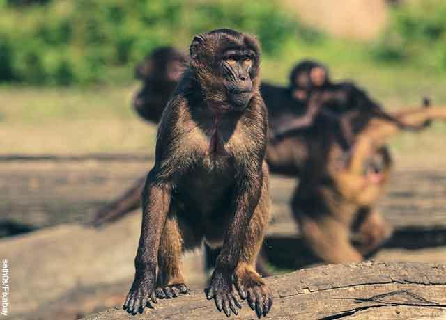 Foto de un simio sobre un tronco mirando a alguien que muestra lo que es soñar con monos