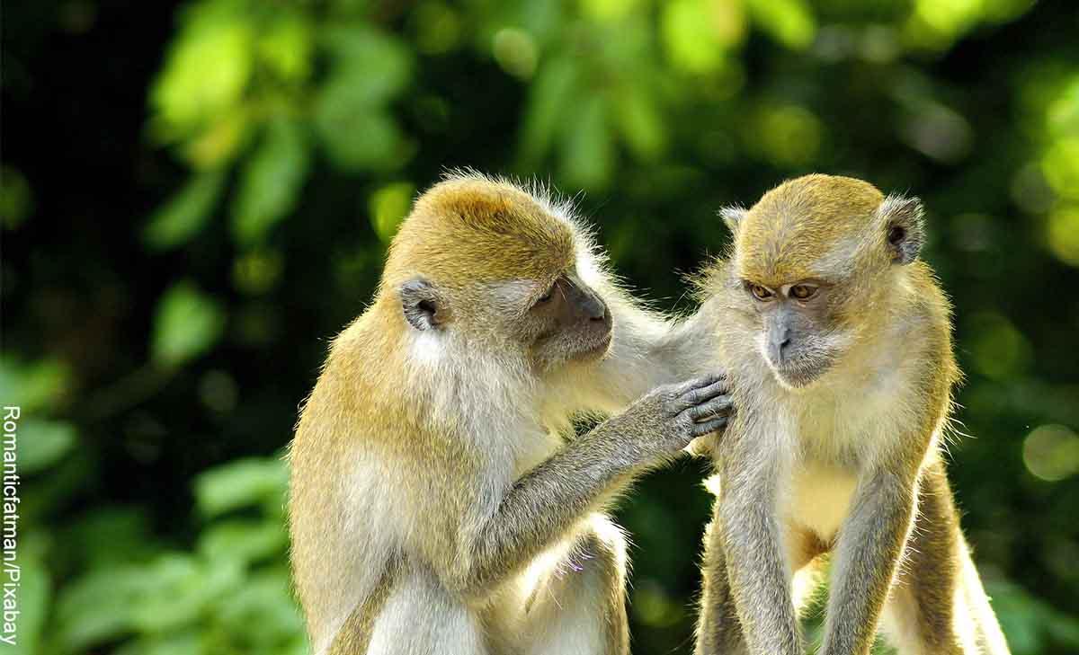 Foto de dos simios tocándose que ilustra lo que significa soñar con monos