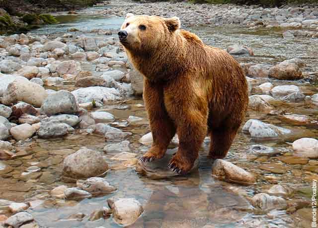 Foto de un oso café sobre piedras que muestra qué significa soñar con osos