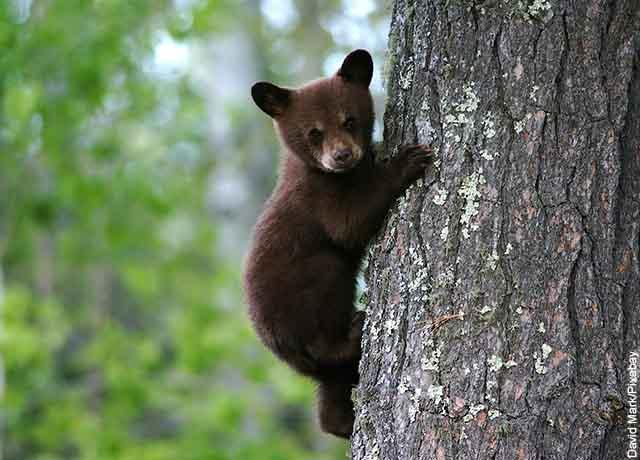 Foto de un oso bebé trepando un árbol