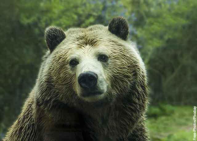 Foto de la cara de un oso adulto