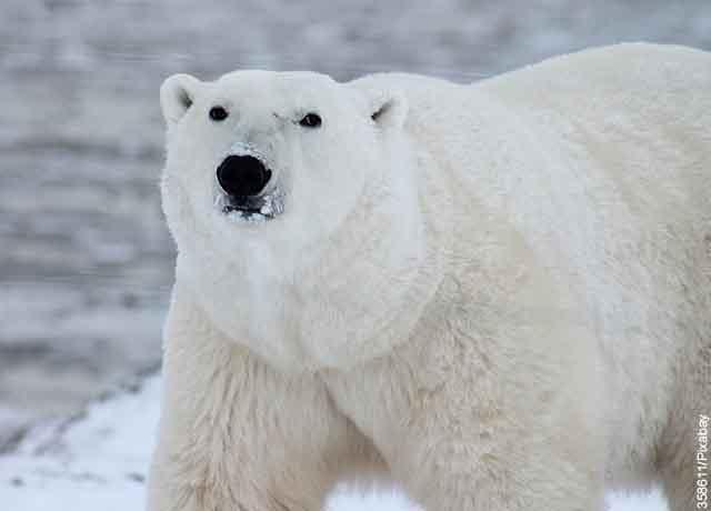 Foto de un oso polar blanco