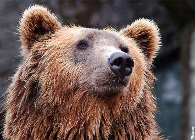 Foto del rostro de un oso pardo mojado