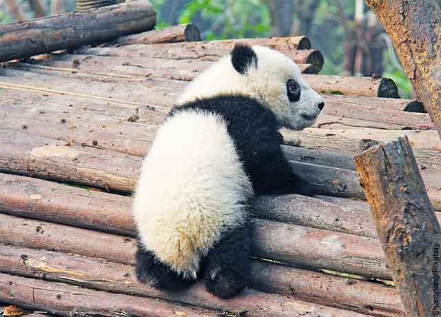 Foto de un panda pequeño sobre troncos de árbol