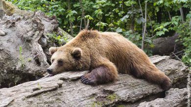 Foto de un oso dormido sobre un árbol que muestra lo que es soñar con osos