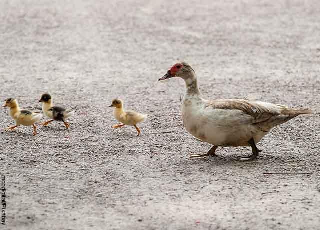 Foto de una pata junto a sus patos caminando