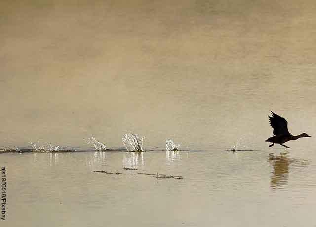 Foto de un pato volando sobre el agua