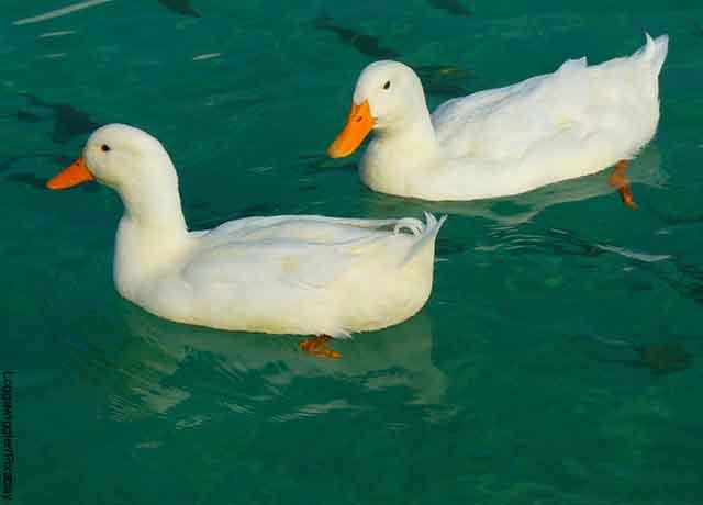 Foto de dos patos blancos nadando en el agua