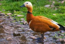 Foto de un pato café que muestra lo que es soñar con patos