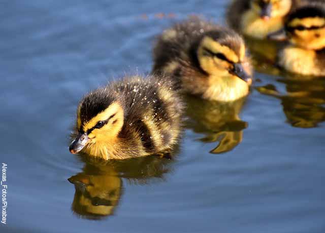 Foto de pollitos nadando