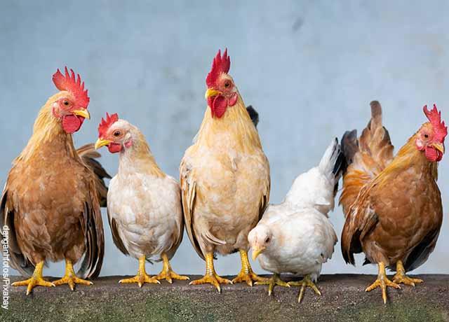 Foto de varias gallinas paradas sobre un palo