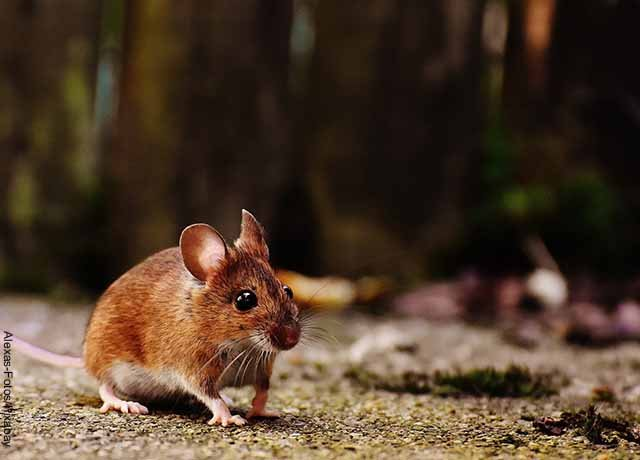 Foto de un ratón en la calle