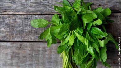 Foto de una planta aromática sobre una mesa que muestra el paico para qué sirve