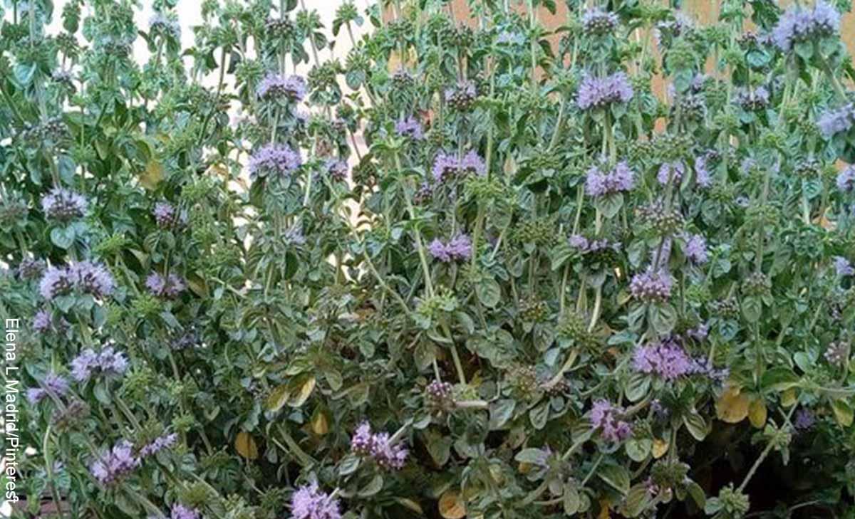 Foto de muchas plantas que revela para qué sirve el poleo