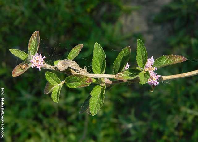 Foto de la rama de una planta con hojas moradas que muestra para qué sirve el pronto alivio