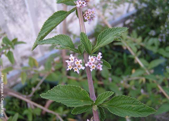 Foto de una rama de planta con flores blancas y moradas