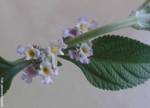 Foto del tallo de una planta de pronto alivio