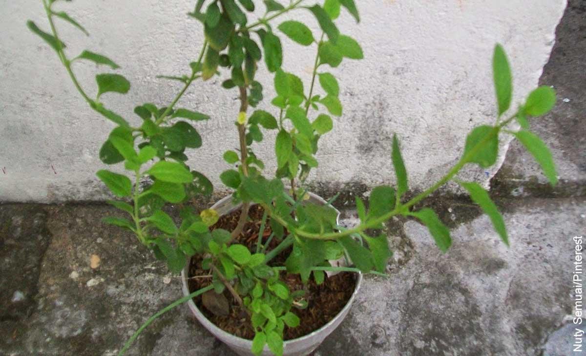 Foto de una planta sembrada en una maceta de plástico que revela para qué sirve el pronto alivio