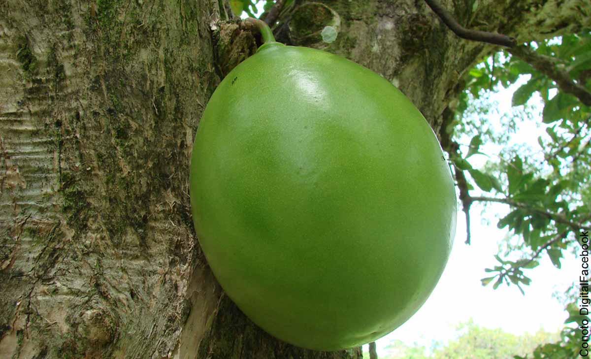Foto del fruto de un árbol del Amazonas que muestra para qué sirve el totumo