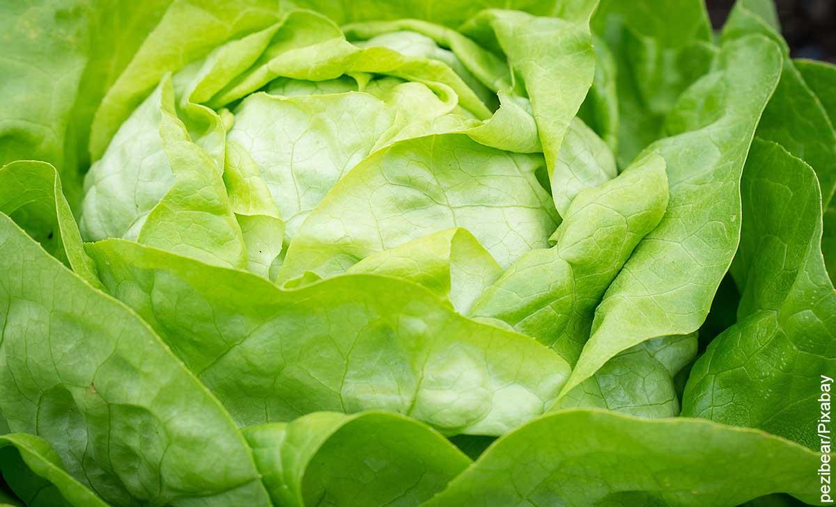 Foto de varias hojas de vegetal verde que revelan para qué sirve la lechuga