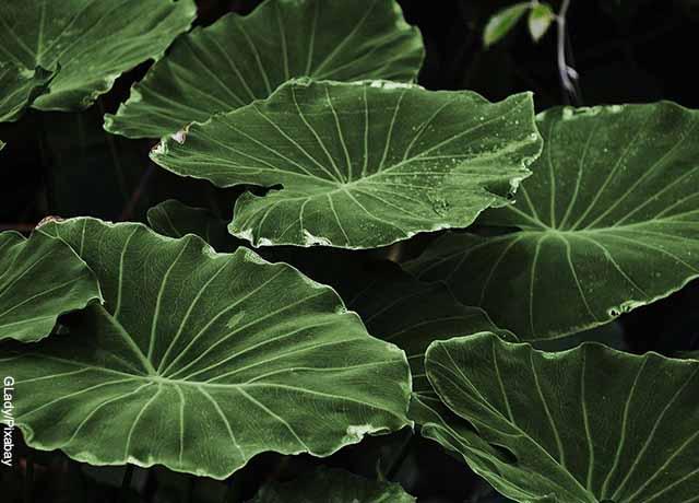 Foto de una planta de hojas verdes grandes