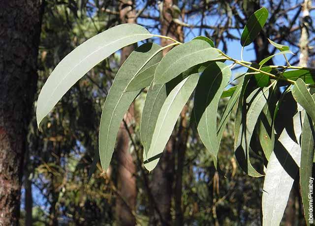 Foto de hojas de eucalipto en un árbol