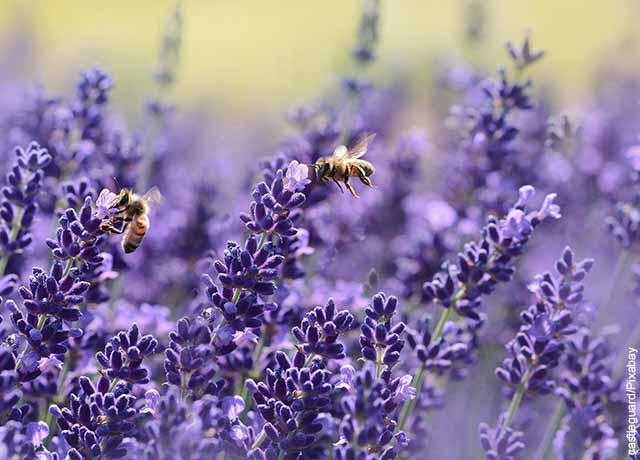 Foto de abejas posadas sobre plantas de lavanda moradas
