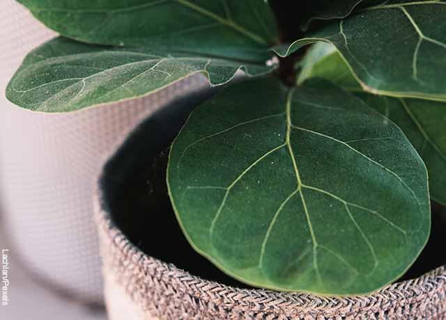 Foto de las hojas de una planta metida en un canasto