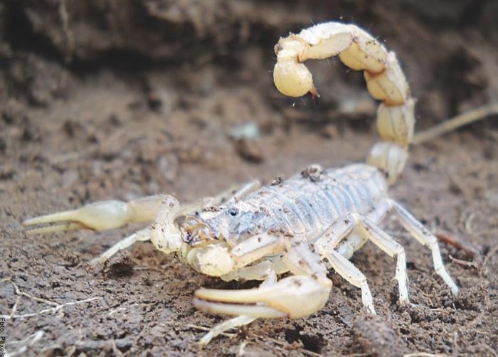 Foto de un escorpión blanco