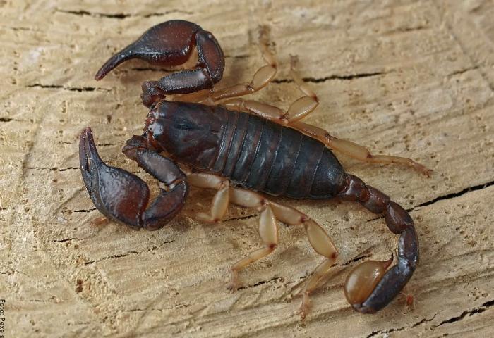 Foto de un escorpión