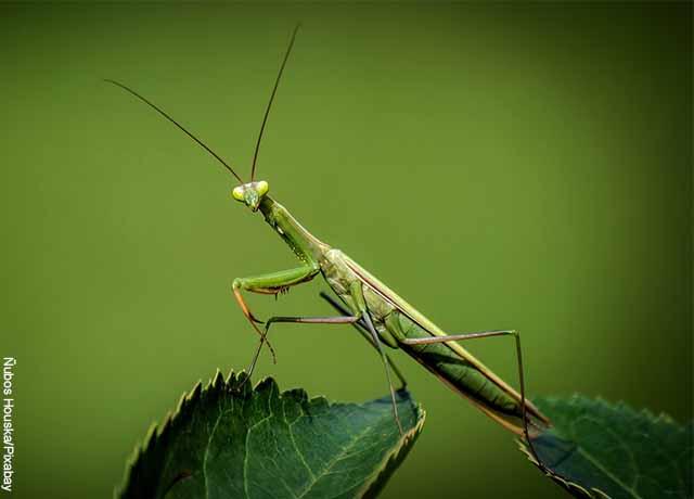 Foto de un saltamontes verdes