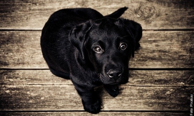 foto de cachorro negro