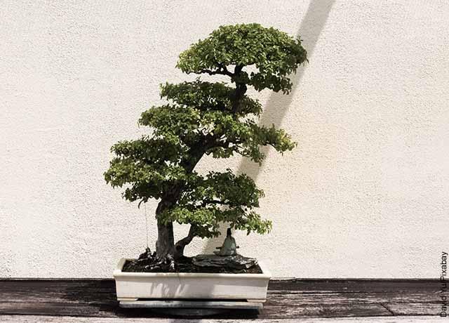 Foto de un árbol enano en un patio