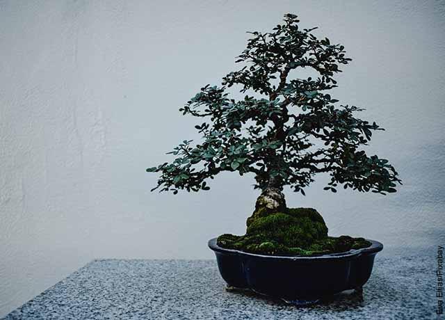 Foto de un bonsái sobre una mesa