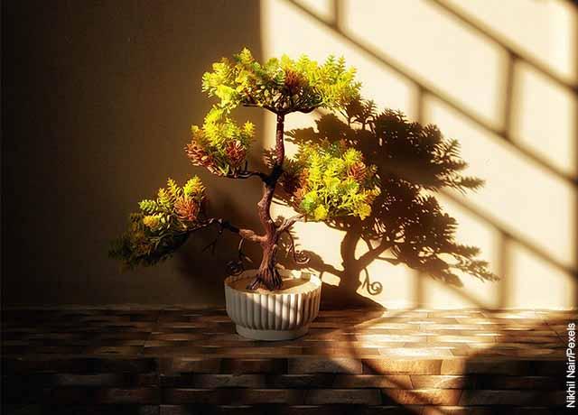 Foto de un árbol pequeño que recibe el sol y revela cómo cuidar un bonsái guayacán