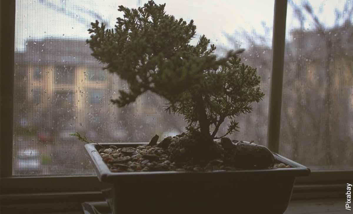 Foto de un árbol pequeño que muestra cómo cuidar un bonsái guayacán